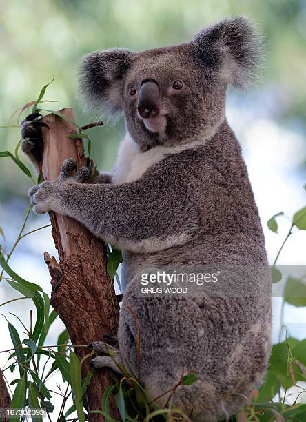 A Koala sits on a branch at the WILDLIFE Sydney Zoo on April 24 2013 AFP PHOTO / Greg WOOD