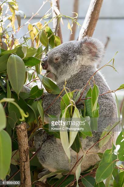 Koala sitting and chewing on gum tree leaves