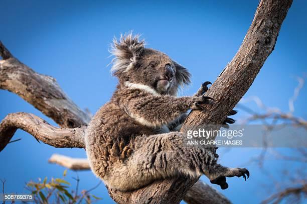 Koala sitting in a gum tree