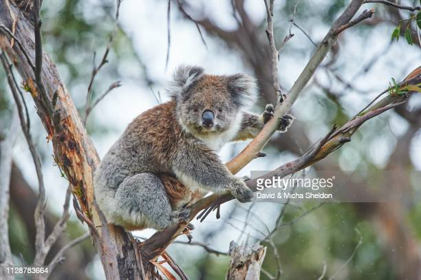 koala (phascolarctos cinereus) sitting in an eucalyptus tree (eucalyptus), great otway national park, victoria - koala stock photos and pictures