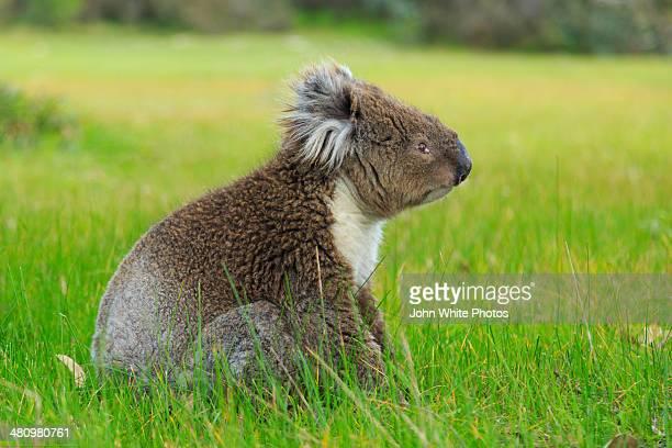 Koala sitting on the ground. South Australia.