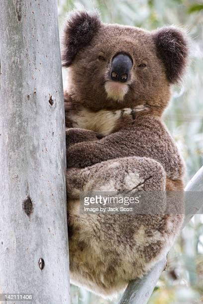 Koala sitting upright in tree