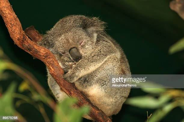 Koala Sleep in tree