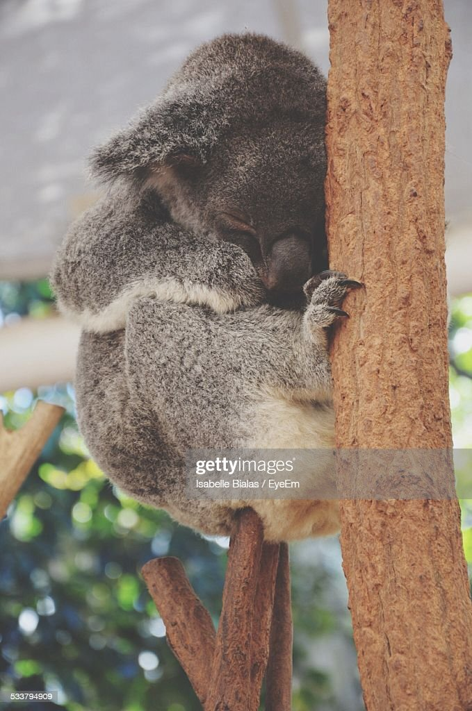 Koala Sleeping In Tree : Foto stock