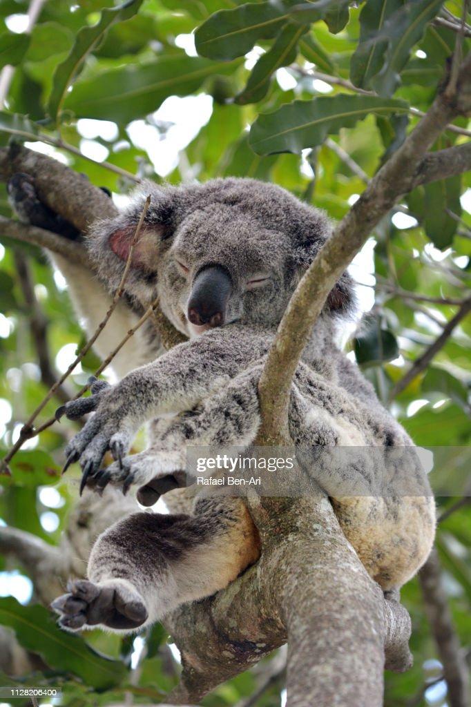 Koala sleeping on a gum tree : Stock Photo