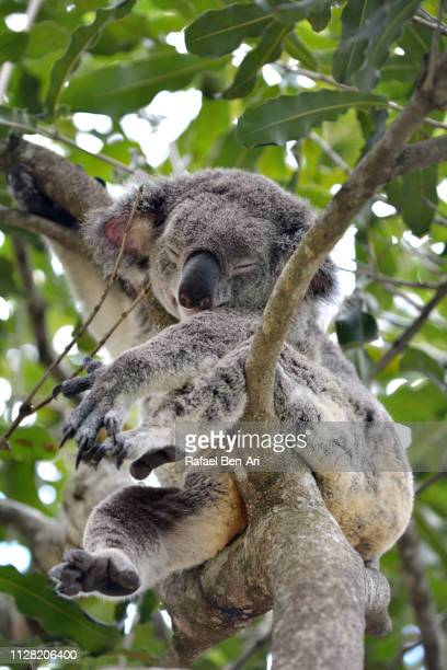 Koala sleeping on a gum tree
