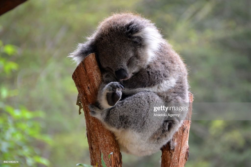 A koala sleeping on a tree branch in Melbourne, Australia on June 5, 2017. Climate change, rising sea levels put Australia's koalas at risk, scientists said at a scientific conference.