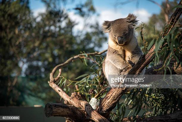 koala sleeping on tree - koala stock photos and pictures