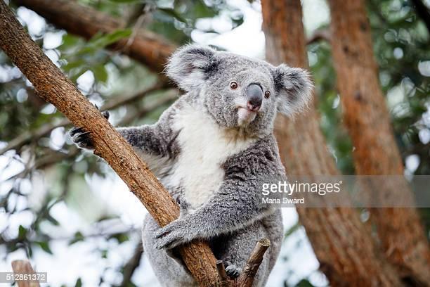 Koala, Sydney zoo, Australia