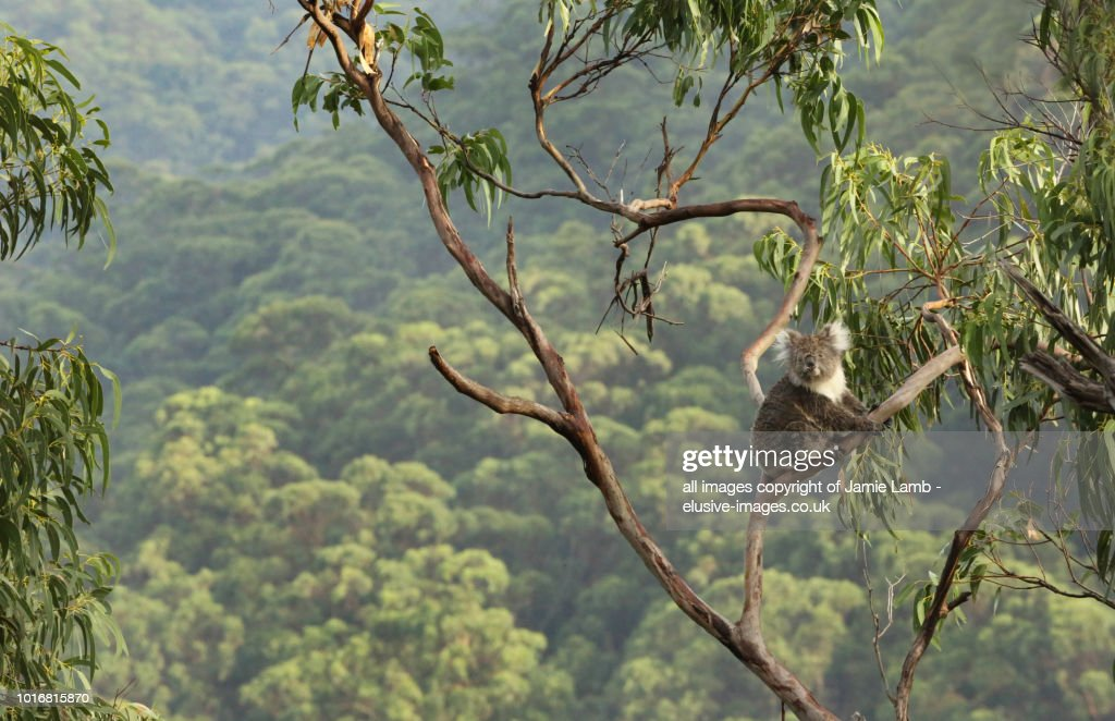 Koala up a tree with forest background. : Stock Photo