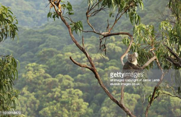 koala up a tree with forest background. - koala stock photos and pictures