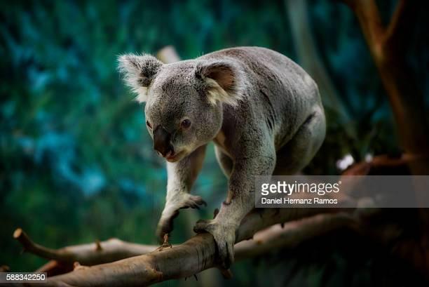 Koala walking on a tree branch. Phascolarctos cinereus