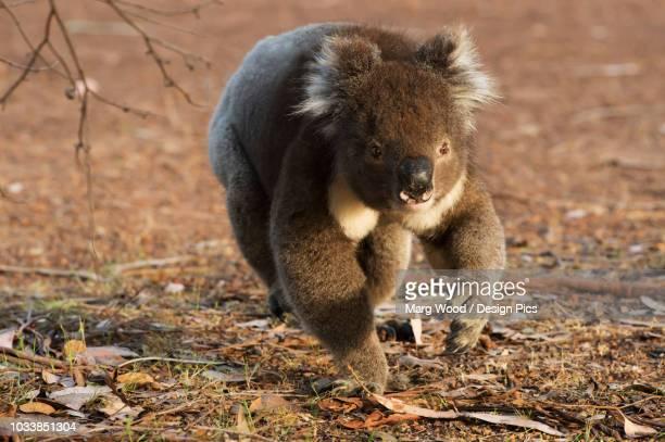 Koala (Phascolarctos cinereus) walking on the ground