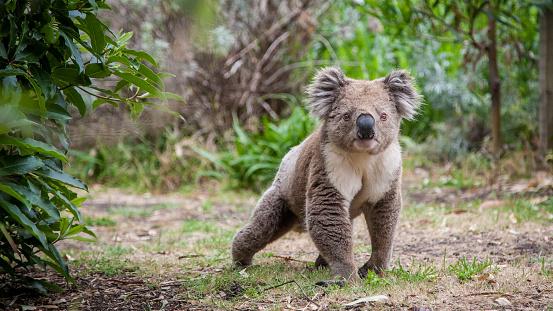 Koala walking 1037549350