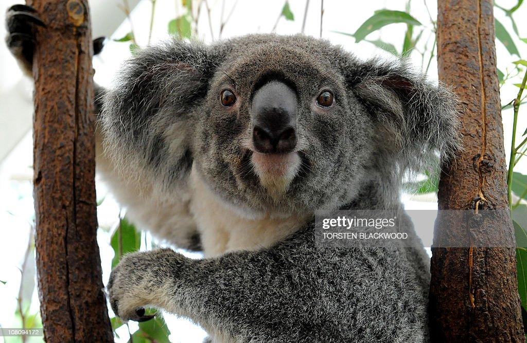 A koala which was displaced from its hab : Fotografía de noticias