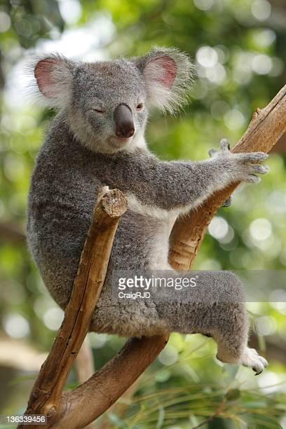 Koala Winking