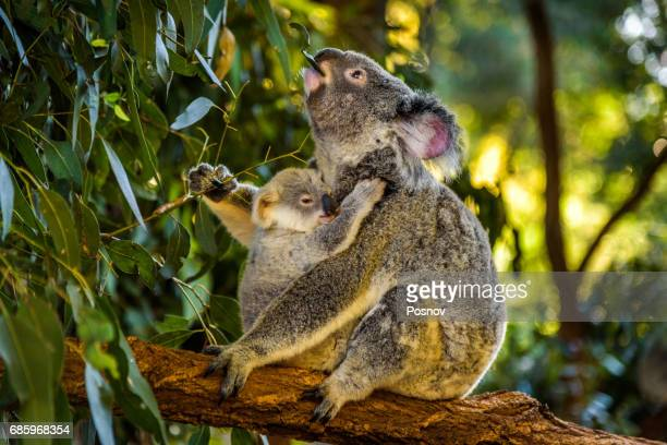 koala with a baby in queensland - koala stock photos and pictures
