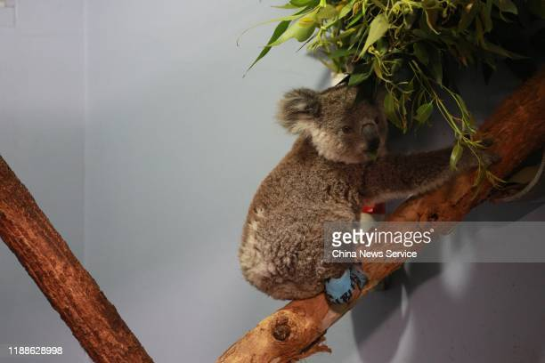 A koala with a leg injury sits on a tree after its rescue from a bushfire at the Port Macquarie Koala Hospital on November 19 2019 in Port Macquarie...
