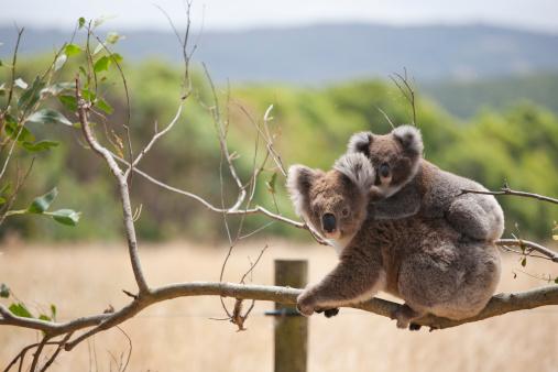 Koala with baby, Hordern Vale, Australia 138172372
