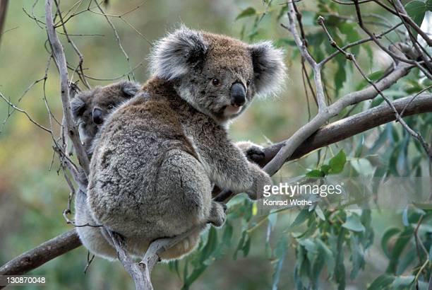 Koala (Phascolarctos cinereus) with baby in Gum Tree, Victoria, Australia