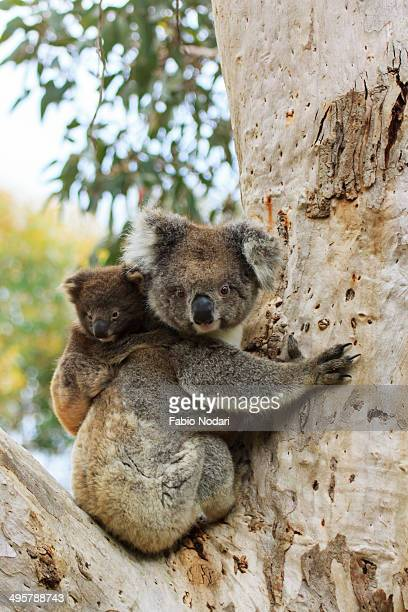 koala with cub on a eucalyptus tree - koala stock photos and pictures