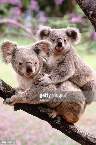 koalas - australia - koala stock pictures, royalty-free photos & images