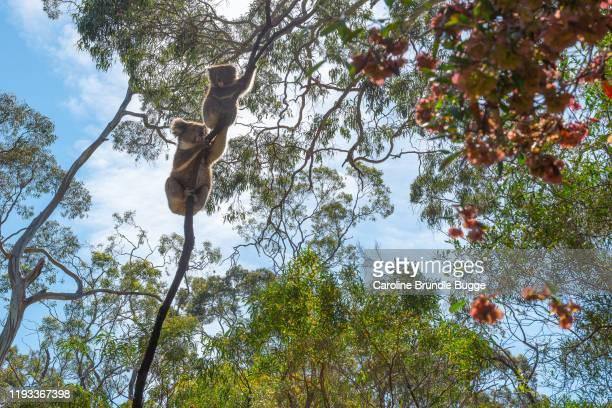 koalas, parque nacional belair, adelaida, australia - rama parte de planta fotografías e imágenes de stock