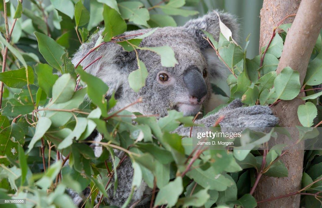 Koalas hanging out on tree at Wild Life Sydney Zoo : ニュース写真