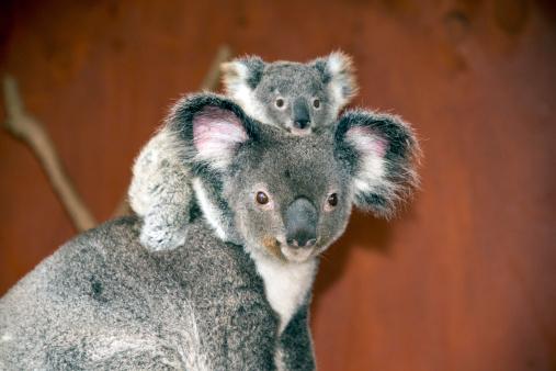 Koalas (Phascolarctos cinereus) in Australia 505583205