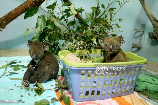 Koalas named Peter and Paul from Lake Innes Nature Reserve recover from burns in the ICU at The Port Macquarie Koala Hospital on November 29 2019 in...