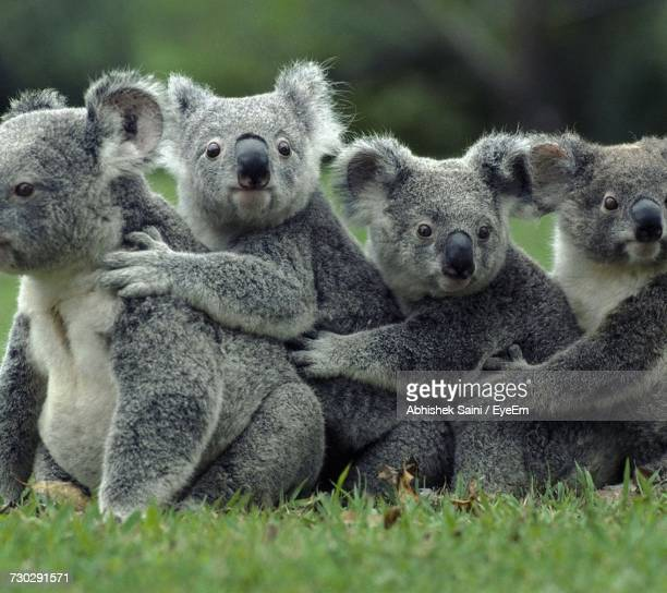 koalas on field - animal family stock pictures, royalty-free photos & images