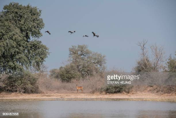 A kob antelope stands on the opposite shore of a waterhole while cranes fly over at Pendjari National Park near Tanguieta on January 11 2018 African...
