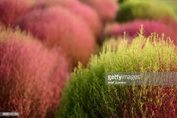 Kochia Flower a.k.a Bassia Scoparia