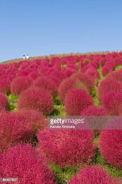 kochia  - kazuko kimizuka stock pictures, royalty-free photos & images