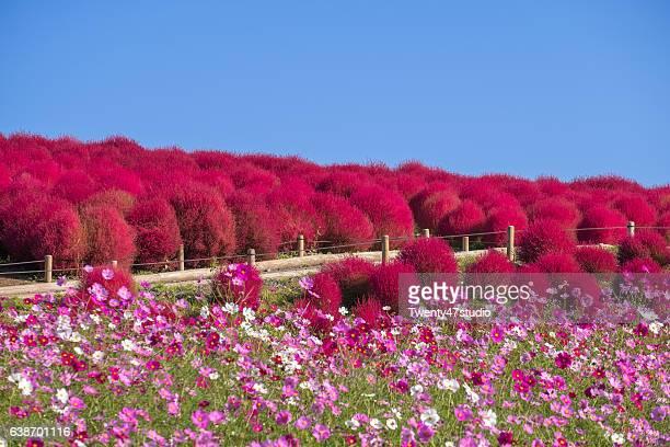 Kochia Scoparia and cosmos flower field