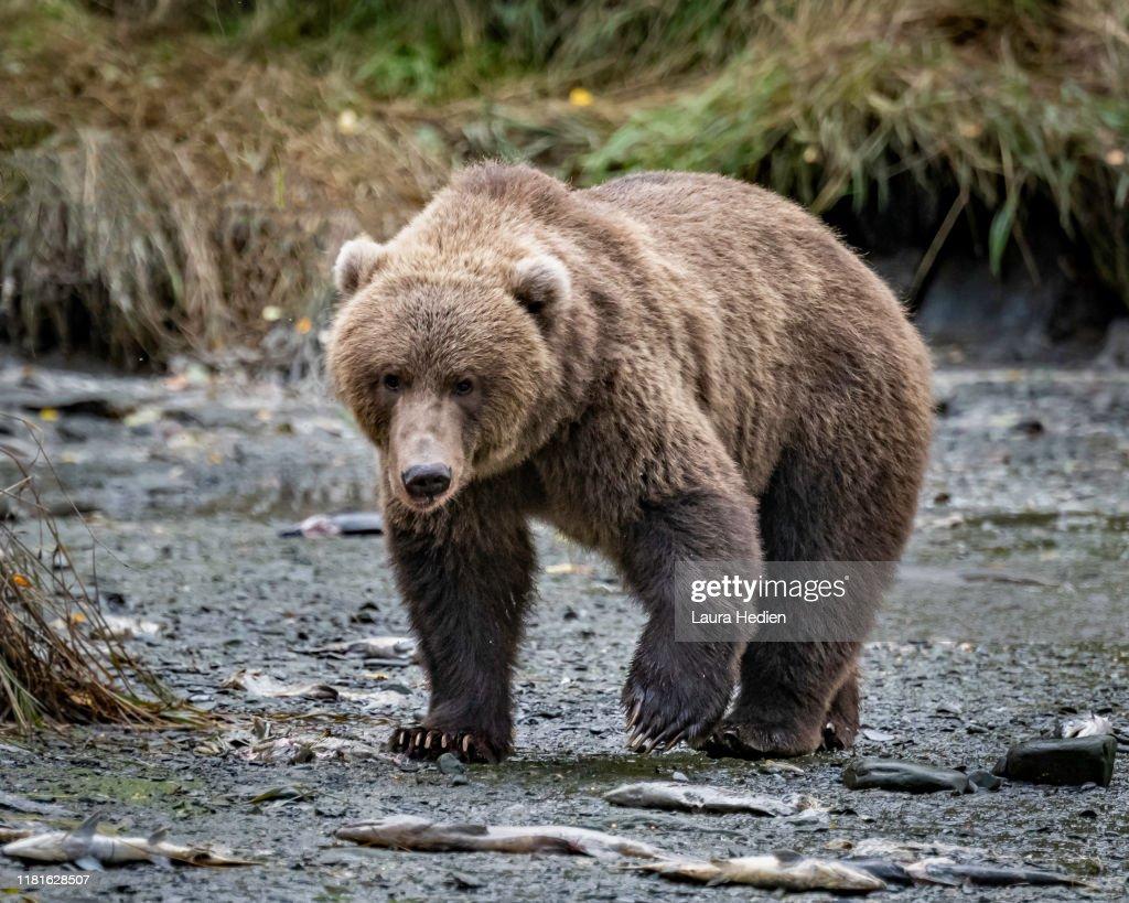 Kodiak Grizzly Bears : Stock Photo