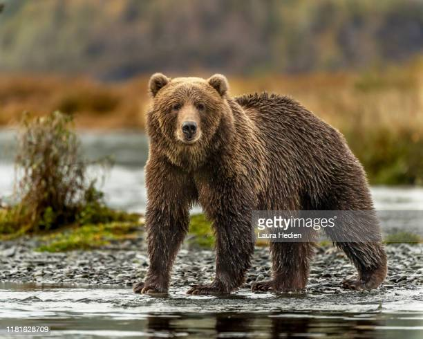 kodiak grizzly bears - bear stock pictures, royalty-free photos & images
