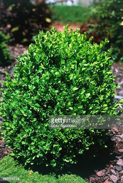 Koean Boxwood Buxaceae