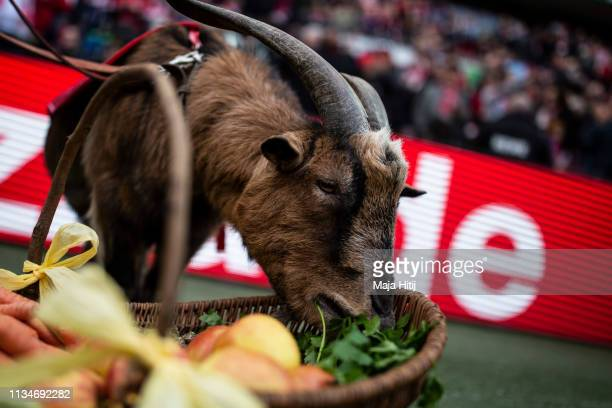 Koeln F.C.'s mascot Hennes the goat during the Second Bundesliga match between 1. FC Koeln and DSC Arminia Bielefeld at RheinEnergieStadion on March...