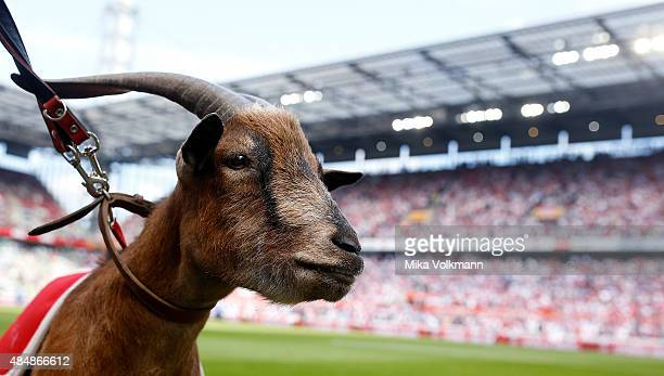 Koeln mascot Geissbock Hennes looks on during the Bundesliga match between 1 FC Koeln and VfL Wolfsburg at RheinEnergieStadion on August 22 2015 in...