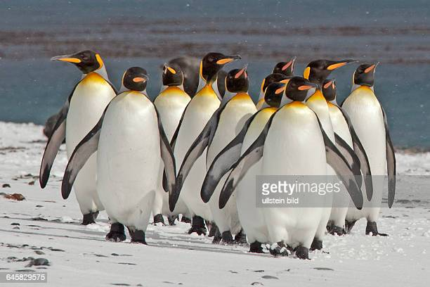 Koenigspinguin auf Salisbury Plain Sued Georgien Antarktis