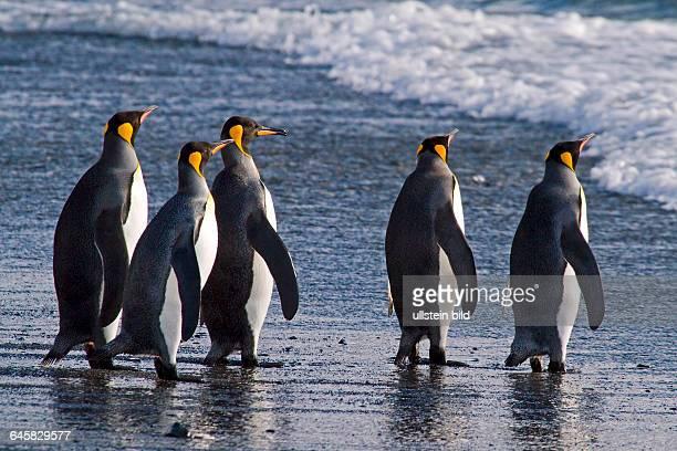 Koenigspinguin in der St Andrews Bay Sued Georgien Antarktis
