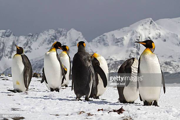Koenigspinguine Suedgeorgien Antarktis
