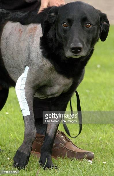 Koff a fiveyearold black Labrador from Bransgore in Dorset wears a dressing over his wound in Manchester following pioneering elbow joint replacement...