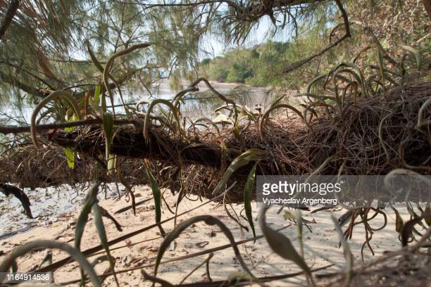 koh mak sandy beach, tropical tree roots, thailand - golf von thailand stock-fotos und bilder
