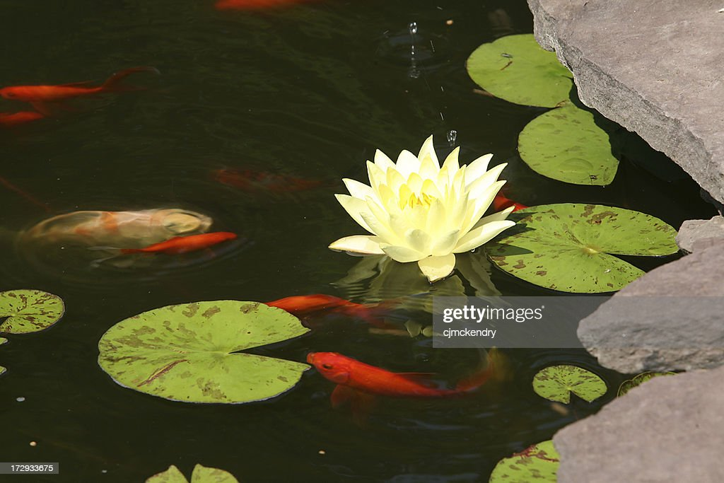 koi and lily : Stock Photo