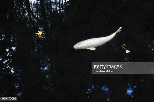koi carp in an autumn pond - koi carp photos et images de collection