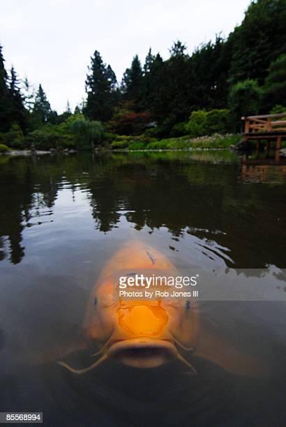 koi carp in  pond - koi carp photos et images de collection