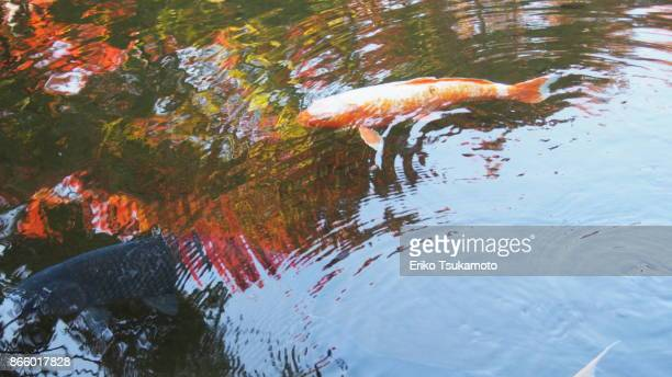 Koi Carp in the pond