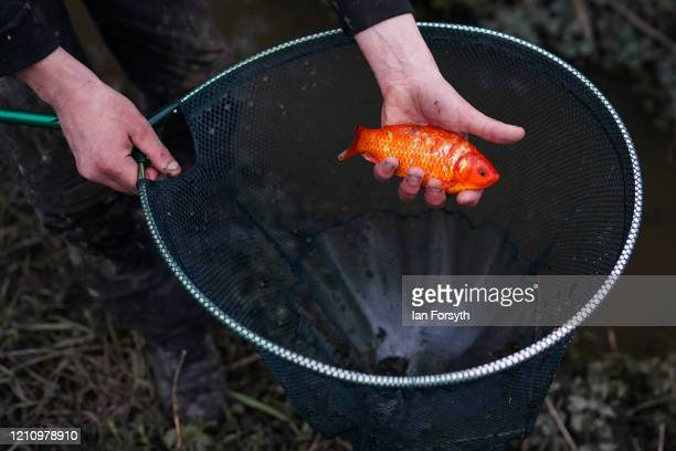 Koi Carp is rescued from a flooded stream after their pond was washed away from a garden during flooding as the residents in the Yorkshire village of...